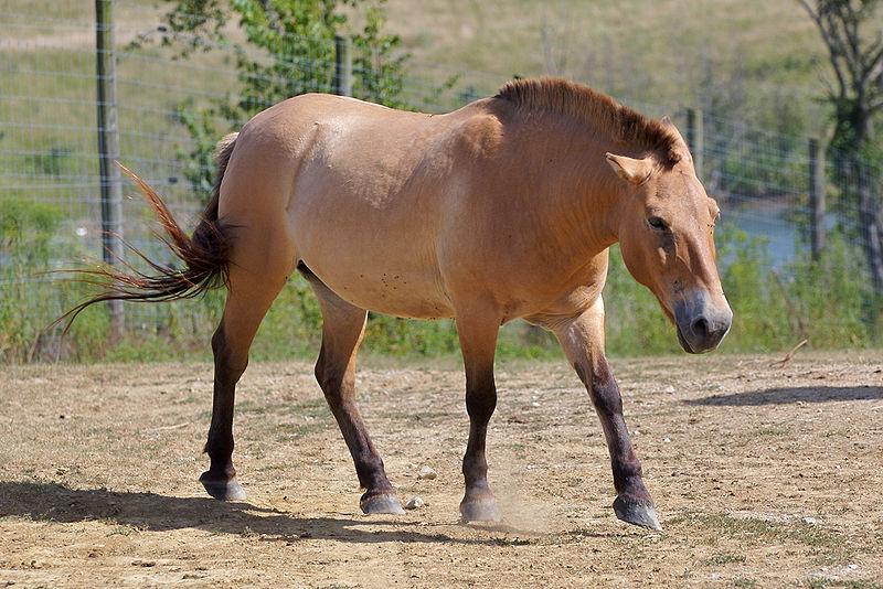 horse pictures. Przewalski#39;s Horse