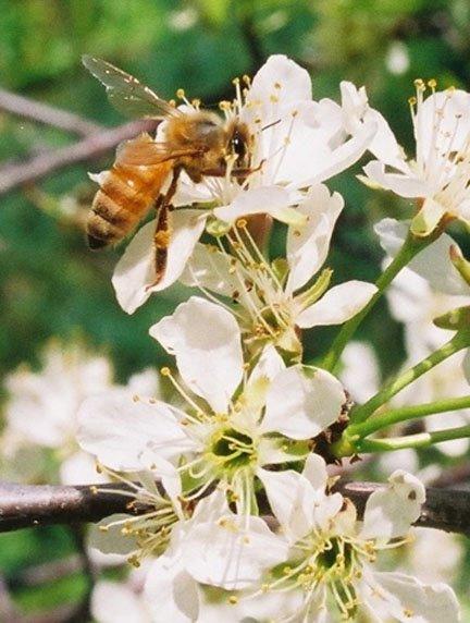 Visiting Plum Blossoms 5/08