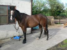 English Thoroughbred Horse