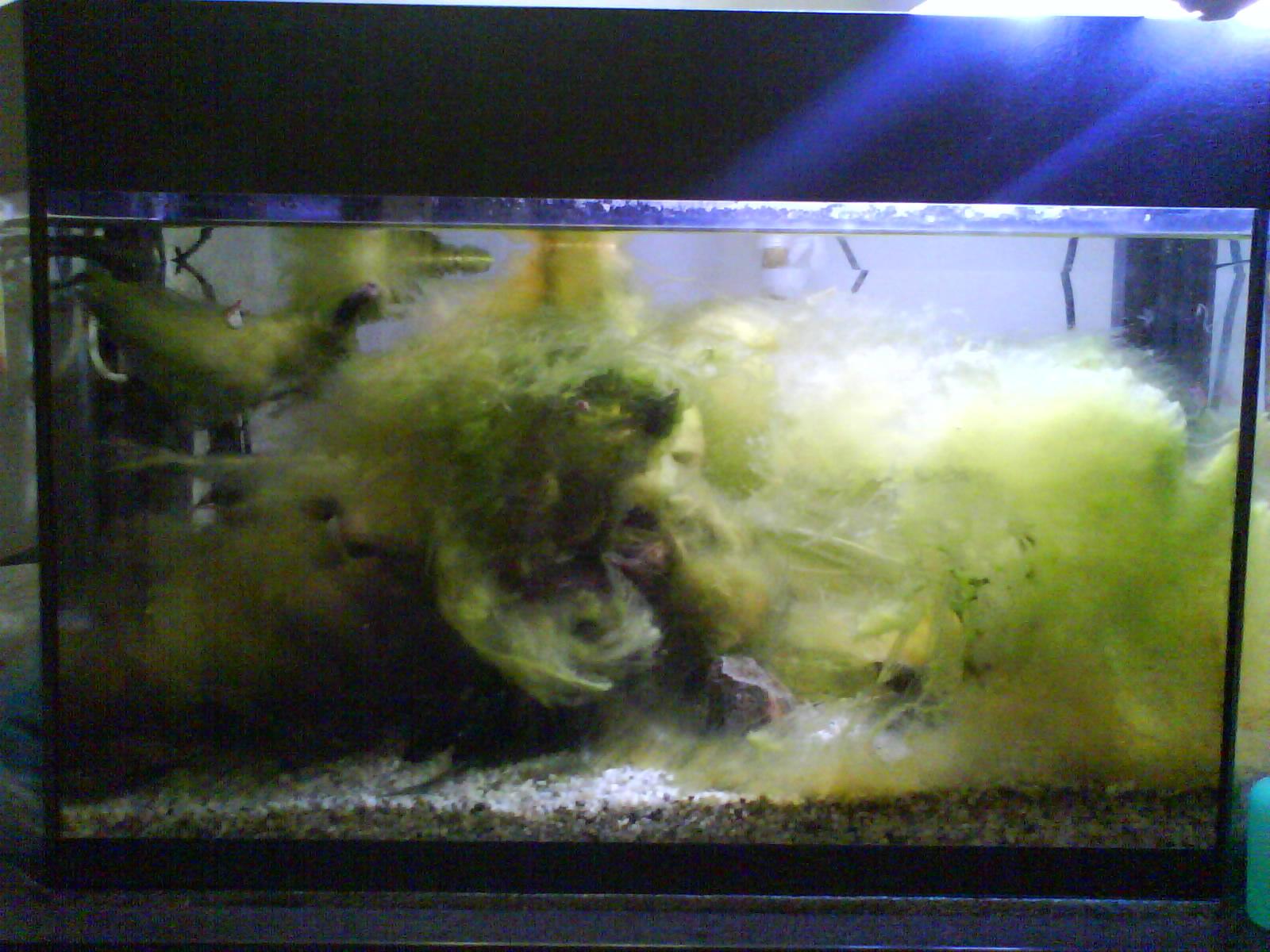 Aquarium algae removers related keywords aquarium algae for Fish tank algae remover