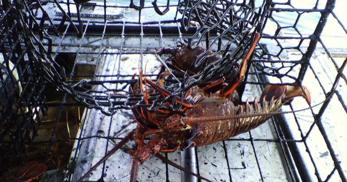 Lobster fishing california lobster fishing in detail for Lobster fishing california