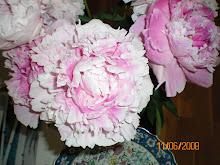 gefüllte rosa Pfingstrose