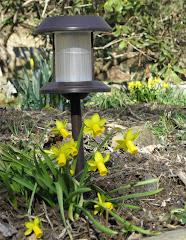 Daffodils Lite