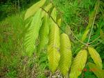 Family: Myristicaceae