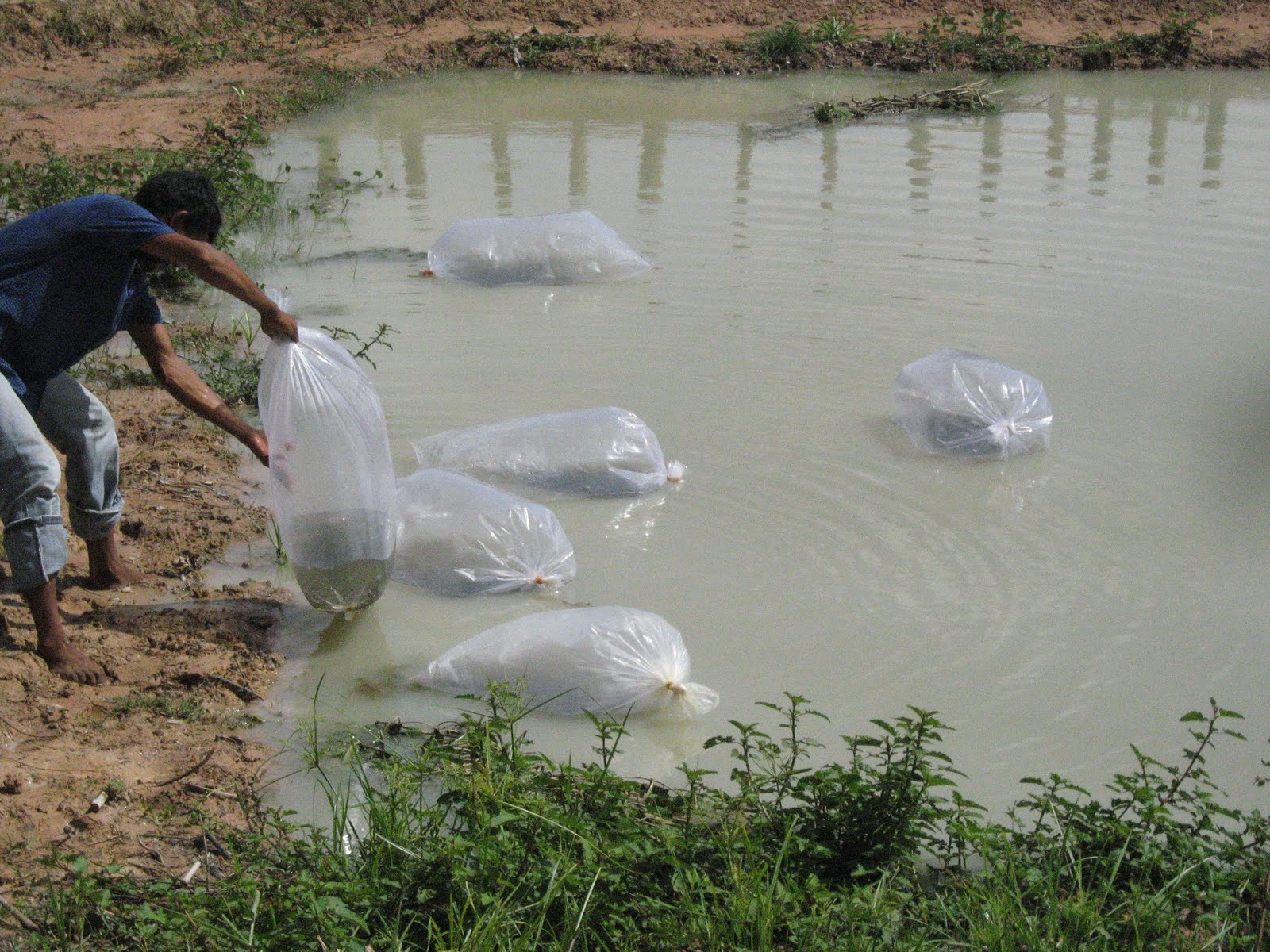 Tilapia fish pond for Fish pond preparation