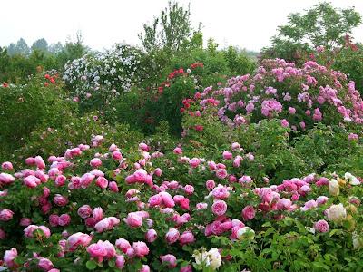 Renato photo giardino di rose romeo comunello il signore