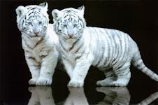 El tigre blanco.