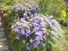 Wild Iris in Dolceaqua