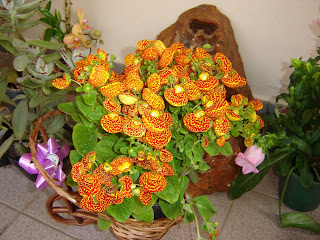 http://4.bp.blogspot.com/_1GjXAG_Zu7g/R9wvM0IezoI/AAAAAAAAAGY/EcGAAgOcW8A/s320/Calceolaria%2Bherbeohybrida.JPG