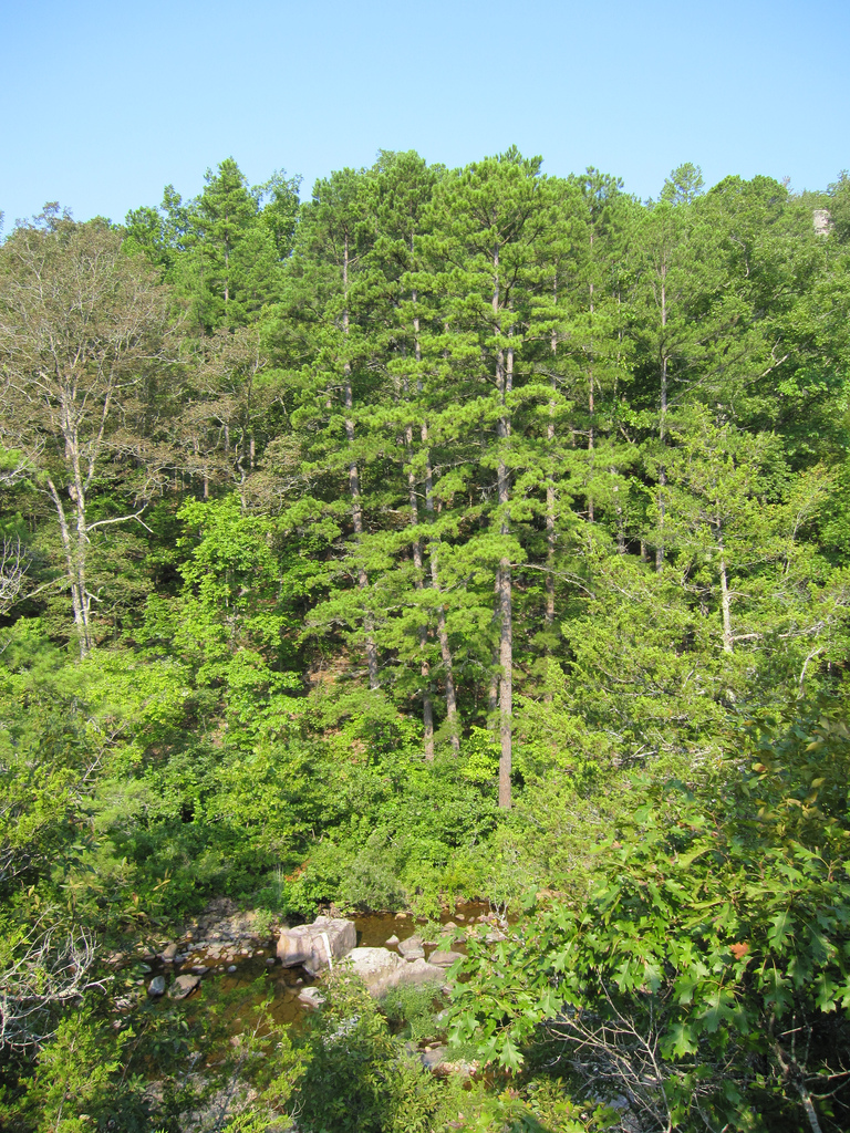 Pinus Echinata On Slope