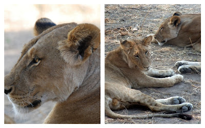 Lions in Ruaha NP