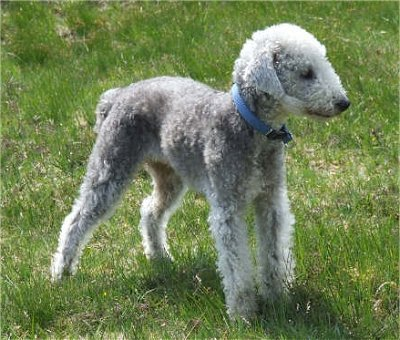 Gypsy Dog Breed