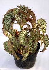 Begonia,  si CAntik dan Eksotik
