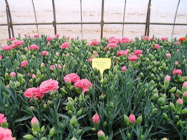Las plantas ornamentales for Algunas plantas ornamentales