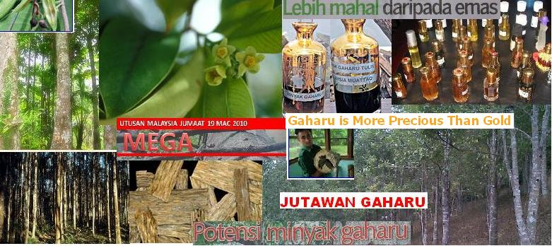 GAHARU = AGARWOOD = BLACK GOLD OF THE FOREST =  WOOD OF THE GODS