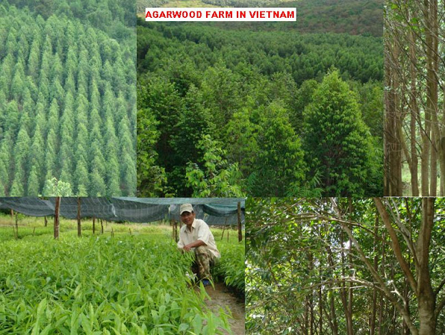 AGARWOOD FARM IN VIETNAM