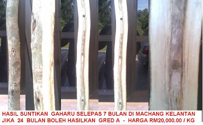 POKOK GAHARU SELEPAS 7 BULAN DI SUNTIK DI MACHANG KELANTAN, 24 BULAN AKAN HASIL TERAS GRED A