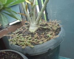 Gulma Adenium