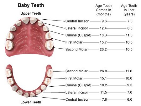Name of Teeth Diagram http://www.ourprincessdana.com/2009/11/t-is-for-teething.html