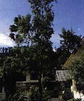 cendana