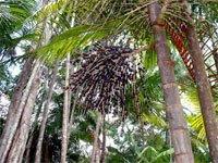 Acai Palm Trees