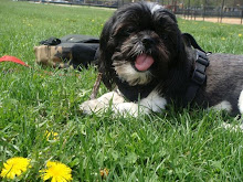 Sammy the Shih Tzu
