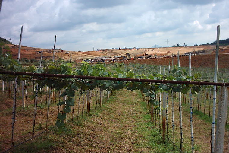 One part of grape plantation