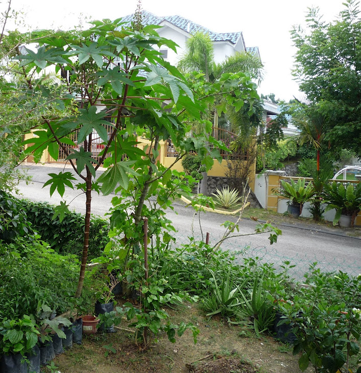 My extended Herbal Project in Malaysia phase -3