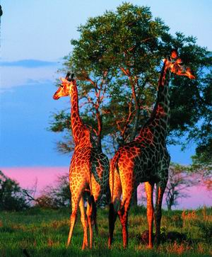 African Safari Holidays - Delve Into the Wild