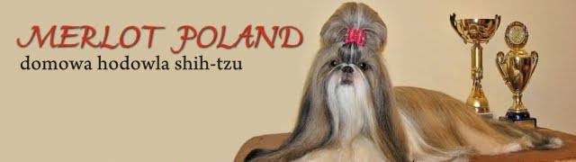 Merlot Poland - domowa hodowla shih-tzu