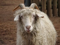 Angora goat, by Trisha M Shears - public domain