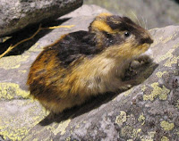 Lemming - public domain image, Argus fin on Wikipedia Commons