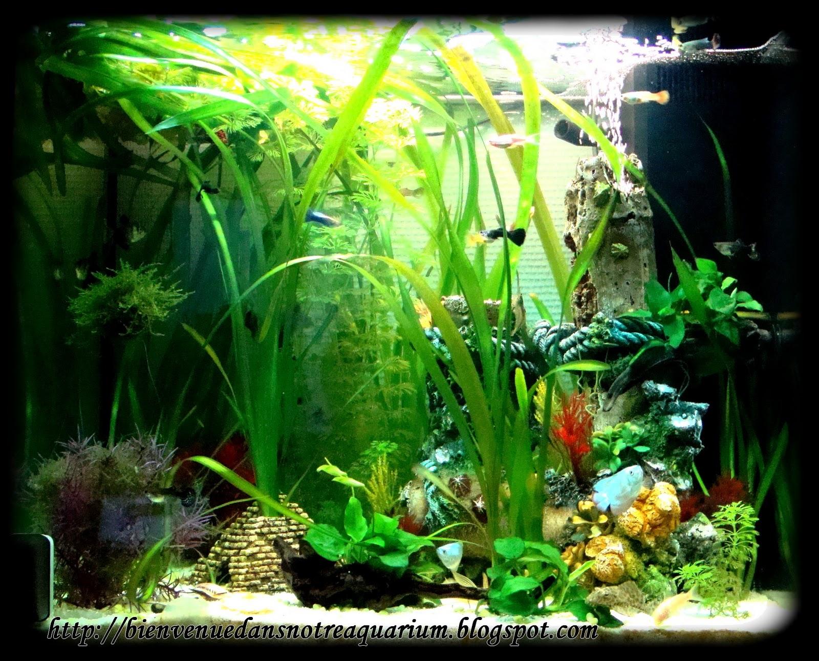 bienvenue dans notre aquarium notre bac bien plant cabomba anubias foug re mousse de. Black Bedroom Furniture Sets. Home Design Ideas