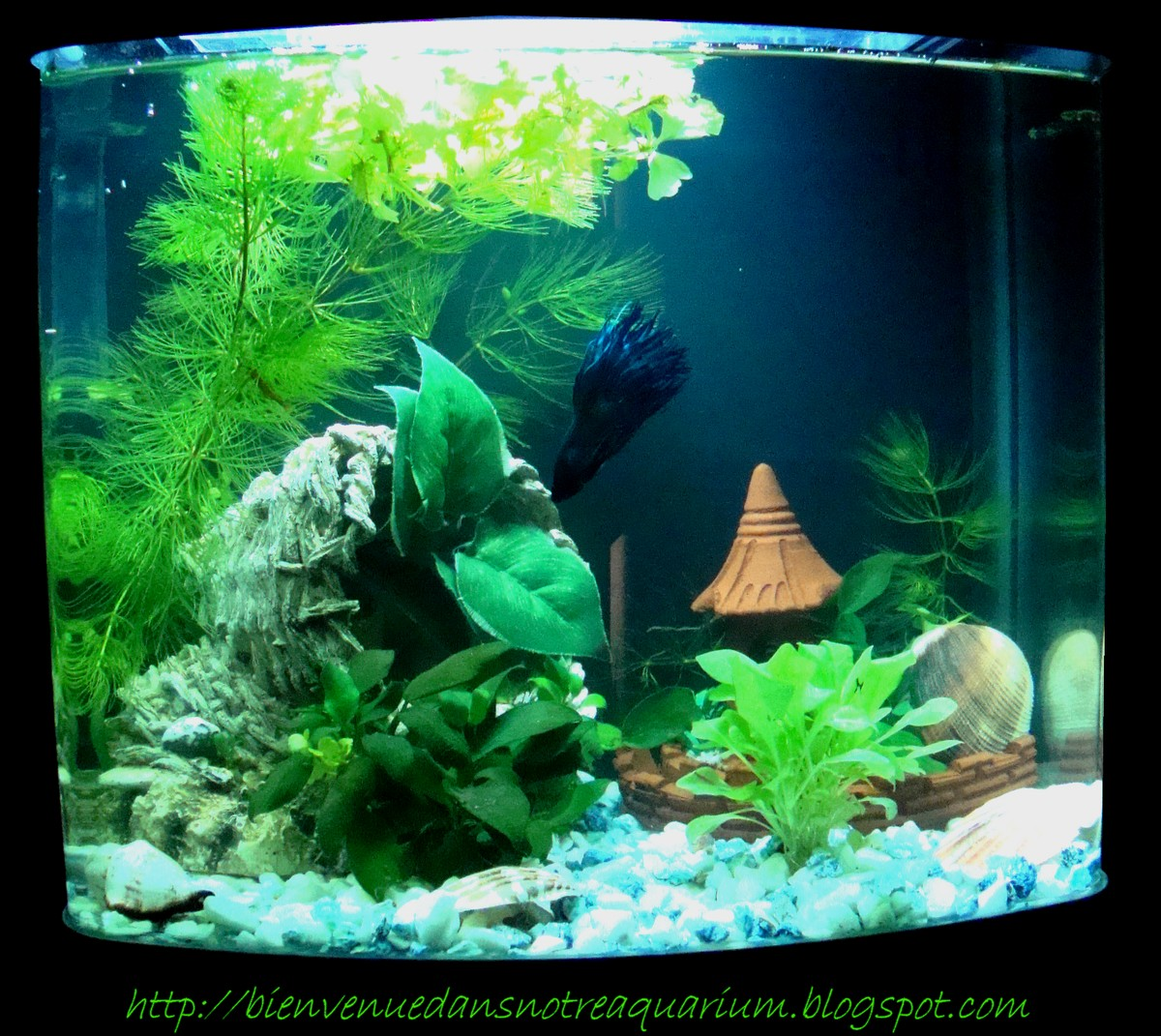 bienvenue dans notre aquarium l 39 aclimatation du betta splendens dnas son joli 24l plant. Black Bedroom Furniture Sets. Home Design Ideas
