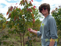 Meeting a Eucalyptus pellita tree