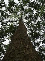9 year old Acacia mangium