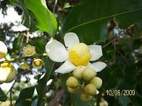 Cocomono Flower