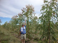 Eucalyptus pellita exhibits rapid growth!