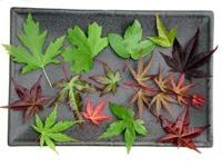 Todo bonsai ficha arce japones o arce palmatum - Arce arbol variedades ...