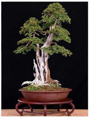 foto bonsai: