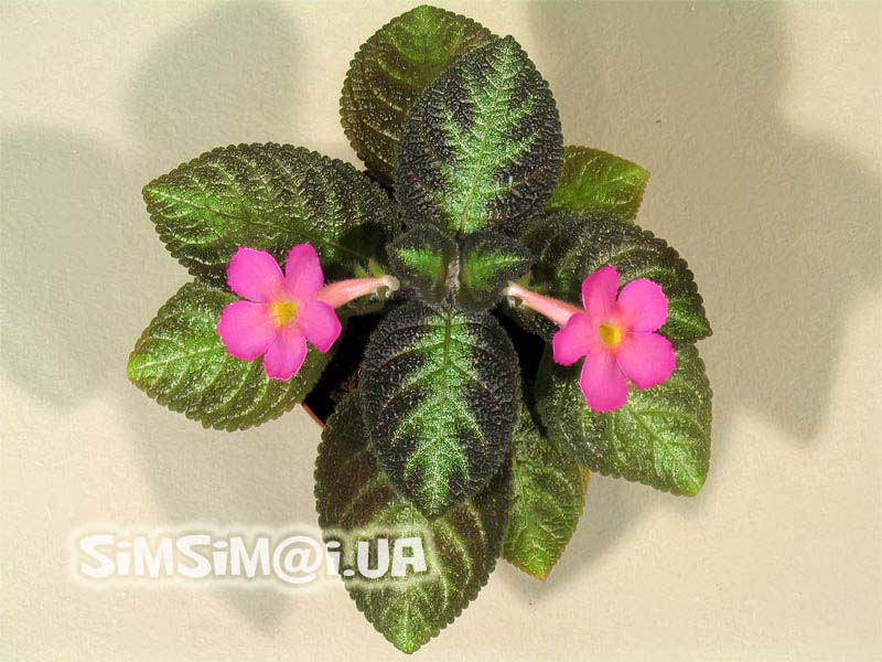 Beauty will save the world episcia pink panther episcia pink panther very compact episcia with large beautiful pink flowers easy to bloom mightylinksfo