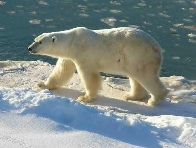 792px Polar Bear 2004 11 15 10 Hewan Paling Berbahaya di Dunia