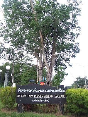 ยางพารา ต้นแรกของประเทศไทย ( PARA RUBBER )