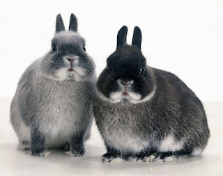 Netherland Dwarf