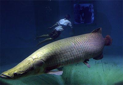 ปลา ตัว ใหญ่ที่สุด ในทวีปอเมริกา