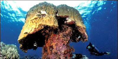 ปะการังแข็ง ขนาดใหญ่