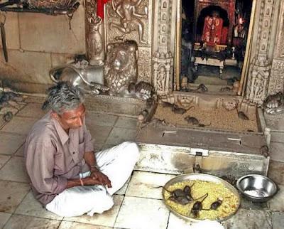 วิหารหนู ประเทศอินเดีย ( Temple of Rats)