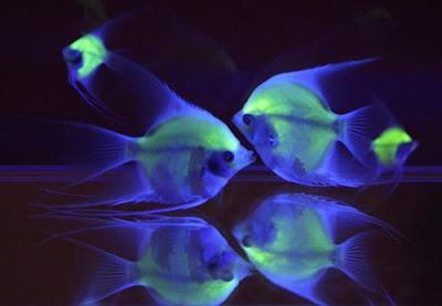 ปลาเทวดา เรืองแสง ใหญ่ที่สุดโลก