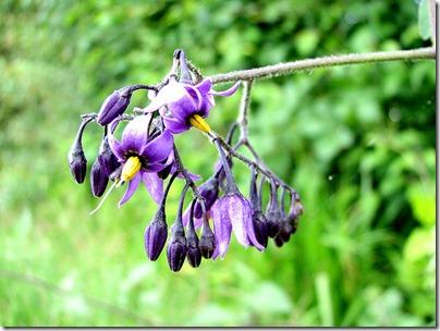 Belladonna Atwpa belladonna
