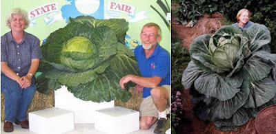 World's Largest Green Cabbage (76 Lbs or 34.4 Kg)